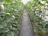 溫室栽培網狀洋香瓜農試所實驗區:DSCN1119.JPG