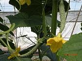 小黃瓜合理化施肥田間成果觀摩會:20090630觀摩會 005.jpg