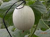 溫室栽培網狀洋香瓜農試所實驗區:DSCN1129.JPG