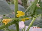 小黃瓜合理化施肥田間成果觀摩會:20090630觀摩會 006.jpg