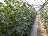 小黃瓜合理化施肥田間成果觀摩會:20090630觀摩會 007.jpg