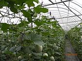 溫室栽培網狀洋香瓜農試所實驗區:DSCN1120.JPG
