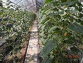 小黃瓜合理化施肥田間成果觀摩會:20090630觀摩會 001.jpg