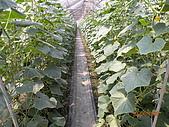 小黃瓜合理化施肥田間成果觀摩會:20090630觀摩會 018.jpg