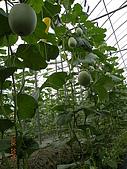 溫室栽培網狀洋香瓜農試所實驗區:DSCN1113.JPG