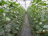 溫室栽培網狀洋香瓜農試所實驗區:DSCN1121.JPG