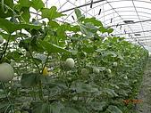 溫室栽培網狀洋香瓜農試所實驗區:DSCN1125.JPG