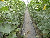 溫室栽培網狀洋香瓜農試所實驗區:DSCN1126.JPG