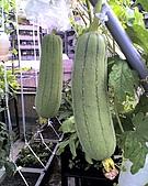 我的屋頂菜園:05-25-09_0923.jpg