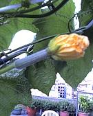 我的屋頂菜園:05-15-09_0435.jpg