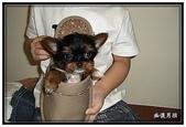 寵物成長記錄:吉娃娃小乖 - 拖鞋是我的家