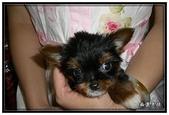 寵物成長記錄:吉娃娃小乖 - 我是小乖
