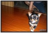 寵物成長記錄:吉娃娃小乖 - 瞧我英挺的姿勢