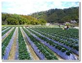 桃園新竹苗栗旅遊:苗栗獅潭- 怡欣草莓農園採草莓-09