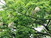 2016-06-05台中南區健康公園 美人樹:DSC07557.JPG