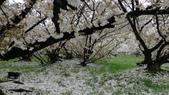 2015-04-13 京都八日遊 Day 3 六孫王神社、金閣寺、仁和寺、原谷苑:04 仁和寺-18.JPG