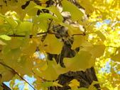2012-11-25 東京自由行 Day 4 -- 銀杏並木、表參道、明治神宫:04 銀杏並木.JPG