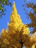 2012-11-25 東京自由行 Day 4 -- 銀杏並木、表參道、明治神宫:05 銀杏並木.JPG