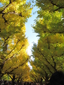 2012-11-25 東京自由行 Day 4 -- 銀杏並木、表參道、明治神宫:08 銀杏並木.JPG