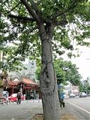 2016-06-05台中南區健康公園 美人樹:DSC07553.JPG