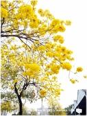 1080228黃金風鈴木。盛開:P1320235.JPG