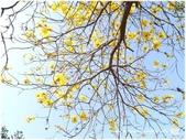 1080228黃金風鈴木。盛開:P1320418.JPG
