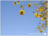 1080228黃金風鈴木。盛開:P1320355.JPG