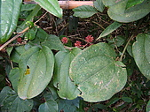 細道邦山&馬那邦山:20080103馬那邦山3-燥金菝契.JPG
