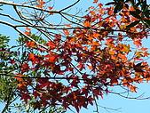細道邦山&馬那邦山:20080103馬那邦山6-槭樹.JPG