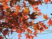細道邦山&馬那邦山:20080103馬那邦山7-槭樹.jpg