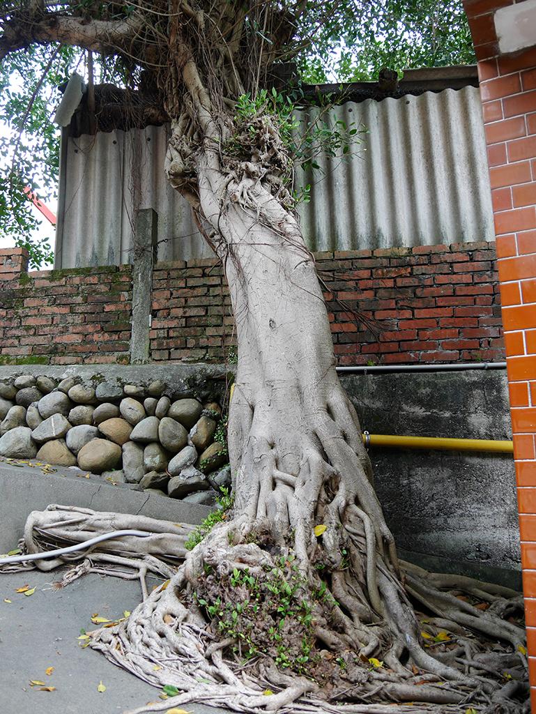 13廟左大榕樹.jpg - 新竹關西鎮仁安里水頭伯公廟(福德祠)