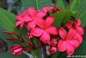 夾竹桃思:緬梔花 Mexican Frangipani(紅色)