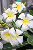 夾竹桃思:緬梔花 Mexican Frangipani