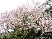 102年3月29日天元宮吉野櫻:IMG_4543.jpg