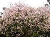 102年3月29日天元宮吉野櫻:IMG_4551.jpg
