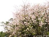 102年3月29日天元宮吉野櫻:IMG_4552.jpg