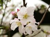 102年3月29日天元宮吉野櫻:IMG_4557.jpg
