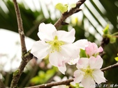 102年3月29日天元宮吉野櫻:IMG_4560.jpg