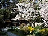 2008日本京都大阪賞櫻自由行~第1天:神之櫻