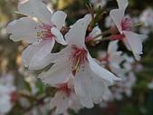 2008日本京都大阪賞櫻自由行~第1天:是櫻花吧?