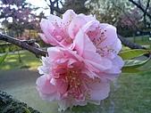 2008日本京都大阪賞櫻自由行~第1天:桃花