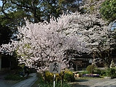 2008日本京都大阪賞櫻自由行~第1天:本殿裡的粉櫻