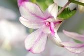 蘭花:_MG_4358.jpg