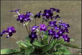 紫色:IMG_8342堇蘭.jpg