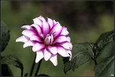 紫色:IMG_1944.jpg