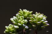 多肉植物:_MG_8036.jpg