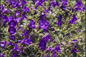 紫色:IMG_1877蔓性夏堇.jpg