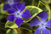 紫色:蔓長春花MG_9737.jpg