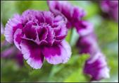 紫色:_MG_3202.jpg