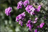 紫色:IMG_1945裂葉美女櫻.jpg